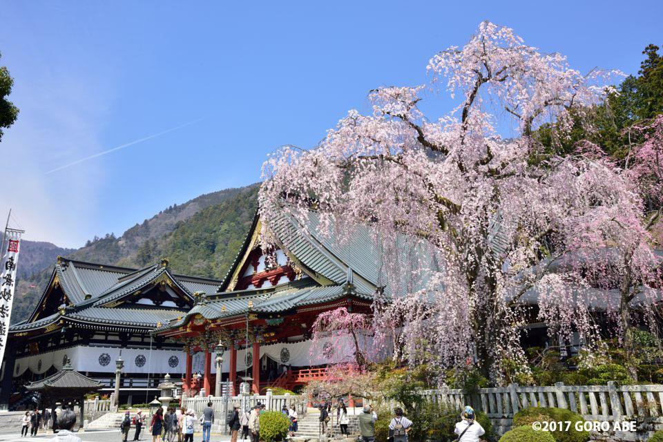 身延 山 久遠 寺 桜